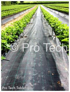 Low level V Matrix Strawberry Tabletops using coir bags as substrate. Coir, Strawberry, Bags, Handbags, Strawberry Fruit, Strawberries, Bag, Totes, Strawberry Plant