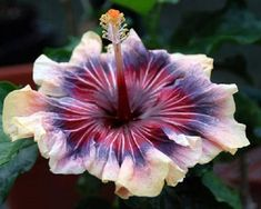 Your hibiscus will need daily watering in warm weather. But once the weather cools, your hibiscus needs far less water, and too much water can kill it. In the winter, water your hibiscus only when the soil is dry to the touch. Tropical Flowers, Purple Hibiscus, Hawaiian Flowers, Hibiscus Flowers, Pink Purple, Tropical Garden, Lilies Flowers, Yellow Roses, Purple Flowers