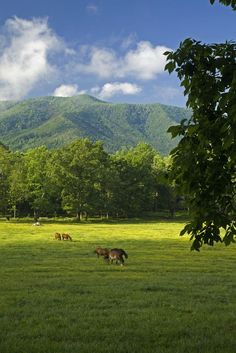 You will find horses in the fields at the beginning of the Cades Cove loop in the Smoky Mountains.