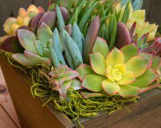 Special Listing for Jennifer 10 Succulent  Centerpieces, Succulent Garden,  Centerpieces, Rustic Wedding, Housewarming Gift