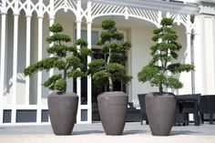 Poodle style in simple grey planters make an attractive feature on roofs of patios