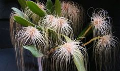 Bulbophyllum medusae. This orchid is named after Gorgon Medusa of Greek mythology since the long lateral sepals of its flowers are rather like the snakes that formed Medusa's hair. It is an epiphytic orchid from the Malay Peninsula, Thailand and Borneo