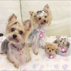 oh for goodness sake Yorkie Puppy, Cute Dogs And Puppies, Doggies, Yorky, Teacup Yorkie, Silky Terrier, Terrier Breeds, Yorkshire Terrier Puppies, Beautiful Dogs