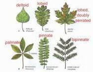 "Результат пошуку зображень за запитом ""british trees leaves identification"""