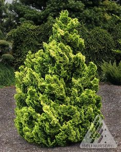 Chamaecyparis obtusa ' Nana Lutea 'A dwarf yellow golden form of Japanese Hinoki Cypress. Leaves are lemon-yellow in tear-shaped sprays. Plant a conical upright. Needs afternoon shade in hot areas. F