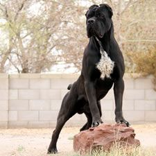 About Time Cane Corso Italiano - Upcoming Litters