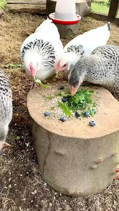 Chicken Feed Diy, Chicken Run Ideas Diy, Clean Chicken, Chicken Pen, Chicken Garden, Chicken Treats, Building A Chicken Coop, Raising Chickens, Treats For Chickens