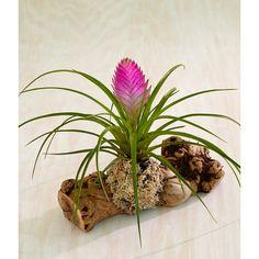 Pink Quill - Tillandsia cyanea - Bromeliad Care Tips