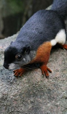 Black brown and white piebald squirrel from Diana Fendley Unusual Animals, Rare Animals, Animals Beautiful, Animals And Pets, Funny Animals, Wild Animals, Hamsters, Rodents, Black Squirrel