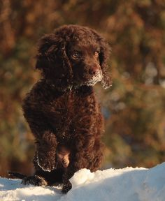 American Water Spaniel Puppy Dog