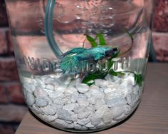 Mason Jar Fish Garden  Desktop Aquaponics and by GreenPLUR on Etsy
