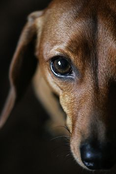 Dachshund- sweet face!