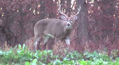 If you like deer, and are looking for the best deer management tips, this show is for you.