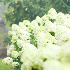 Grow gorgeous Limelight hydrangea! More flowering shrubs for hedges: http://www.bhg.com/gardening/trees-shrubs-vines/shrubs/best-flowering-shrubs-for-hedges/?socsrc=bhgpin073013limelight=2