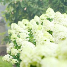Grow gorgeous Limelight hydrangea! More flowering shrubs for hedges: http://www.bhg.com/gardening/trees-shrubs-vines/shrubs/best-flowering-shrubs-for-hedges/?socsrc=bhgpin073013limelight=2