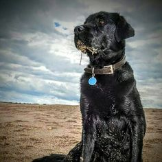 Salty sea Dog  labrador photo