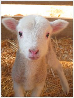 """close up - looks kinda like my baby goat """"Cottage Cheese"""" that I had as a kid, I loved her so much"""