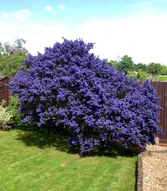 Ceanothus flowering bush
