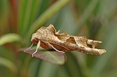 Phlogophora meticulosa - The Angle Shades Moth
