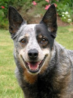 The Australian Cattle Dog is an energetic, human friendly, dog that will work tirelessly at herding cattle, sheep, goats, or any other domesticated large animal. Description from waycooldogs.com. I searched for this on bing.com/images