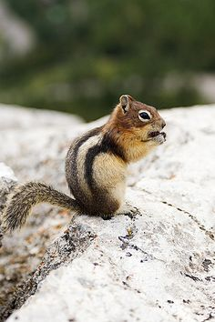 another baby squirrel !- I have no idea if I spelled that right Chipmunk maybe? Forest Animals, Nature Animals, Animals And Pets, Baby Animals, Cute Animals, Small Animals, Wild Animals, Cute Squirrel, Baby Squirrel