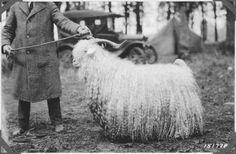 mohair, Angora goat from 1920 Oregon