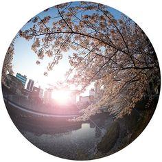 目黒川の夕日と染井吉野 素敵な瞬間に出会えました #全周魚眼 #目黒川 #目黒川桜祭り #夕暮れ #ソメイヨシノ #桜 #染井吉野 #TOKYO #SAKURA #JAPAN
