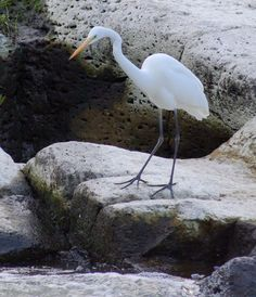 white heron looking for evening meal Evening Meals, Heron, River, Photos, Image, Pictures, Herons, Rivers, Stork