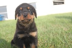 10 Best Rottweiler Puppies For Sale In Pa Images On Pinterest In