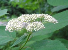 Medicinal Uses of Wild Hydrangea // by 7song of the Northeast School of Botanical Medicine