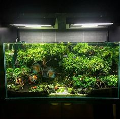 Planted discus tank
