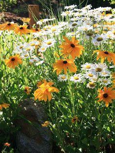 Yellow and White Beauties    Shasta Daisy (Chrysanthemum maximum) and Black-eyed Susan (Rudbeckia hirta) fill a stunning flower bed.