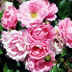 Sommerwind - Flora LinneaMarktäckande buskrosor är lågväxande varianter på moderna buskrosor. Mycket användningsbara som låga häckar, i stenpartiet, i samplantering med andra perenner. Tåliga rosor som blommar nästan kontinuerligt hela säsongen. 'Sommarwind' har samma växtsätt som 'The Fairy' men med vackra, skålformade, laxrosa blommor, ojämna i kanten. Svag doft men rikligt blommande.