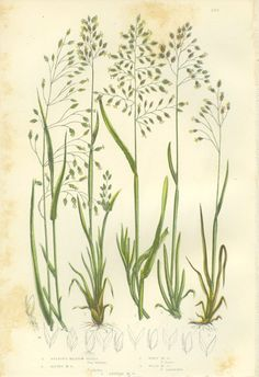 Bulbous Meadow Grass, Alpine, Wavy, Reproduction Antique Botanical Print, Anne Pratt 1889, Cottage Decor, Library Decor,For Framing