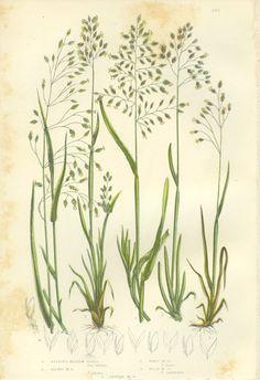 Vintage botanical print - grass