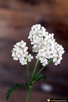 Yarrow - make tincture and oil yourself - Diy Garten Dekoration Health Center, Natural Cures, The Cure, Herbs, Nature, Plants, How To Make, Beauty, Fit