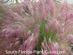 Muhly Grass (Muhlenbergia capillaris) A very beautiful native grass, muhly has pinkish-purple plumes that appear in fall.  As the color fades to pale pink and then beige, the plumes can be removed or left on into winter.   Muhly can reseed but because of its size that usually doesn't present a problem. This is a small grass, growing only about 3 feet tall overall.  Full to partial sun is best. Cold hardy, salt-tolerant, and an ornamental grass well worth planting in any garden.