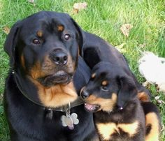 Rottie Cute   So Precious Mama and puppy    rotties <3 My favorite