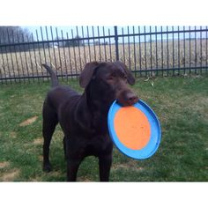 He loves his Planet Dog toys! Chocolate Lab puppy.