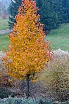 chanticleer pear tree garden trees garden trees