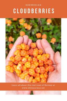 Learn all about this real treat of Norway. Norwegian cloudberries.