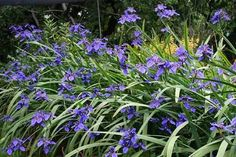 Image result for neomarica caerulea