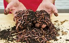 No room for an outdoor compost pile? Bring the process indoors...and let worms do the work.
