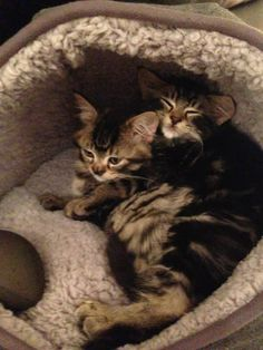 Marvel & Toto of the Oz Kittens (Facebook - Marvel & Toto's Furry Tale xo)