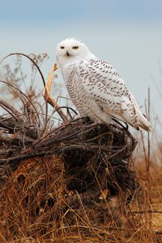☀Snowy Owl by TheNatureDude on Flickr*