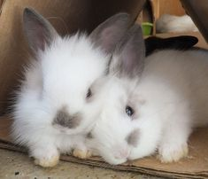 My entire family loves rabbits, and baby bunnies HAVE to be one of the most adorable animals on the planet. Baby Animals Pictures, Cute Animal Pictures, Animals And Pets, Cute Little Animals, Cute Funny Animals, Cute Baby Bunnies, Cute Babies, Fluffy Bunny, Animals Beautiful