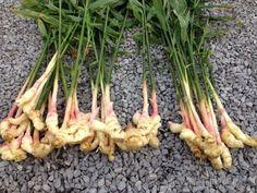 Имбирь на даче: выращивание, уход, размножение