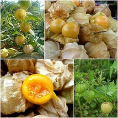 60 Seeds Cape Gooseberry Physalis Peruviana Giant Poha Berry Ground Cherry for sale online Cape Gooseberry, Fruit Seeds, Parts Of A Plant, Tomatoes, Healthy Snacks, Blueberry, Roots, Oatmeal