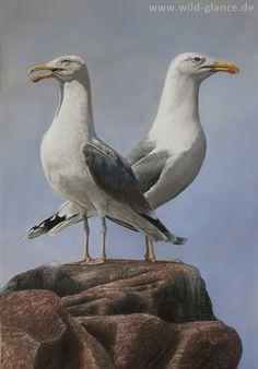 Caspian Gulls - Steppenmöwen