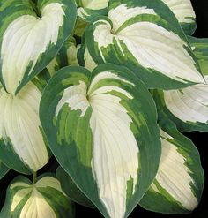 'Ghost Master' - stunning 'painted leaf' hosta. It's love at first pin!